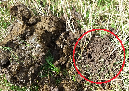 Figure 2: Tunnelling activity (circled) adjacent to sheep dung.