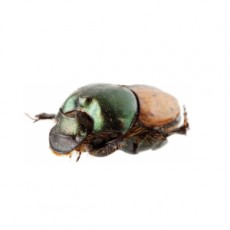 Onthophagus vacca female
