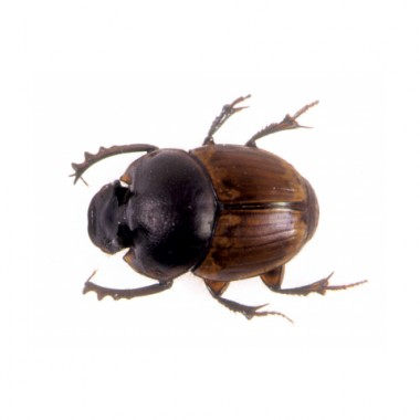 Onthophagus gazella Male