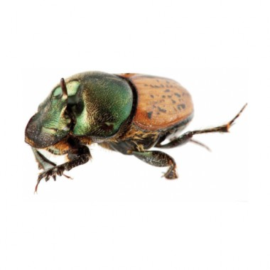 Onthophagus vacca Male