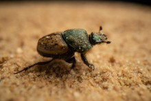 O vacca dung beetle